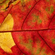Stock Photo: Red and yellow leaf