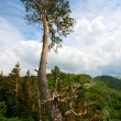 Old pine in mountains — Stock Photo #1356345