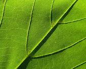 Green leaf 3 — Stock Photo