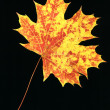 Autumn leaf on black — Stock Photo