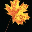 Stock Photo: Autumn leaf on black