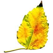 Golden leaf on white — Stock Photo