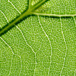 Vein of the leaf — Stock Photo