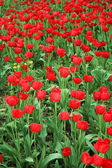 Flowerbed with red tulips — Stock Photo