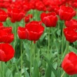 Red tulips on flowerbed — Stock Photo