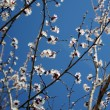 Stock Photo: Flowerings branches 2