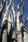 Stems of trees — Stock Photo