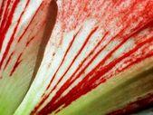 Amaryllis, close-up — Stock Photo
