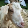 Stock Photo: Nanny goat