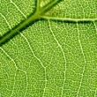 Vein of the leaf 2 — Stock Photo #2127422