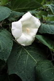 White madonna lily — Stock Photo