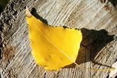 Yellow leaf on stub — Stock Photo