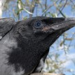 Head of the crow 2. - Stock Photo