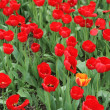 Red tulips and one yellow — Stock Photo