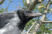 Nestling of the crow — Stock Photo
