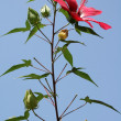 Flower of hibiscus (Hibiscus coccineus) - Stock Photo