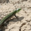 Stock Photo: Green lizard on chappy ground.