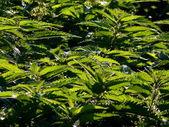 Green nettles 2 — Stock Photo