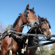 Stock Photo: Two brown horses in a team
