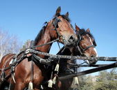 Two brown horses in a team — Stock Photo