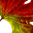 Red-green leaf 2 — Stock Photo