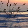 Reed on sundown — Stock Photo