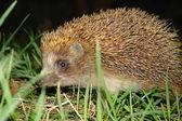 Night Hedgehog — Stock Photo