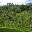 Rice terraces — Stock Photo #1173244