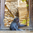 Monkey guard — Stockfoto