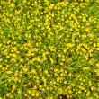 Buttercup meadow - Stock Photo