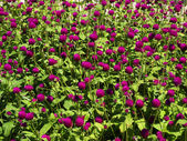 Pink clover flower bed lot in the sunlig — Stock Photo