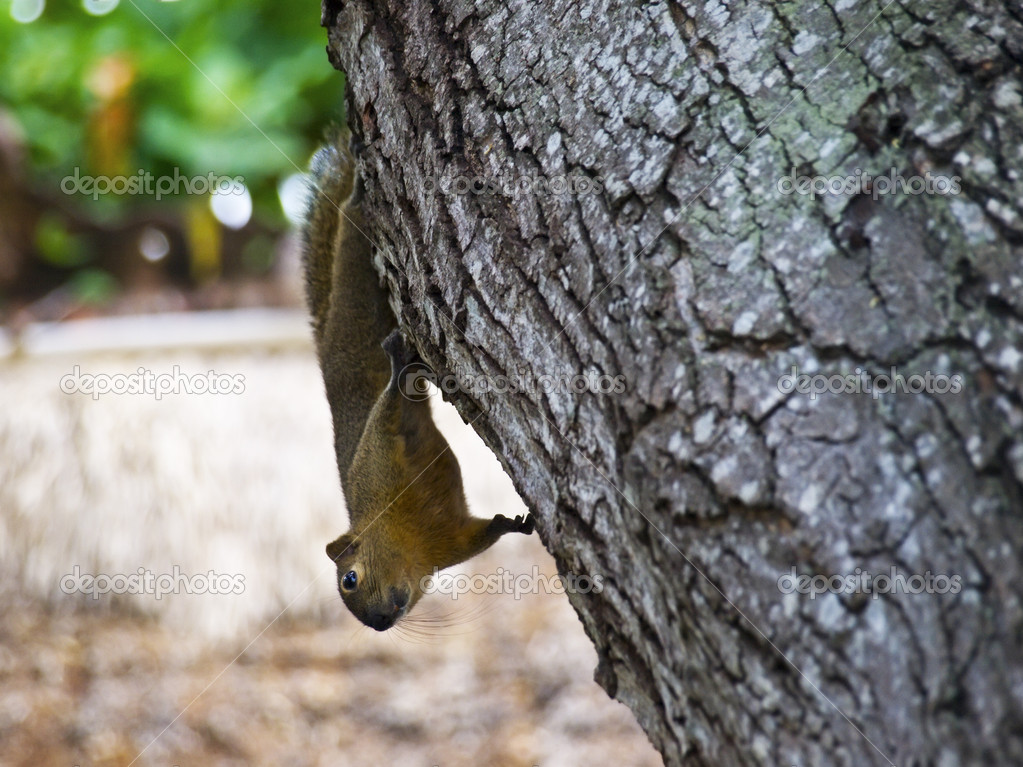 Funny squirrel hanging upside down on the tree — Stock Photo #1173327