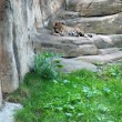 Stock Photo: Leopard in Moskow zoo