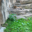 Leopard in the Moskow zoo - Stock Photo