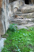 Leopard in the Moskow zoo — Stock Photo