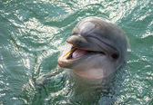 A dolphin laughing — Stock Photo