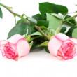 Two roses - Stock Photo