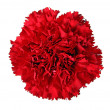 Stock Photo: Carnation isolated