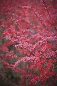 Red autumn card, red bush — Stock Photo