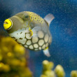 Clown Triggerfish — Stock Photo #1220740