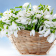 Snowdrops in basket — Stock Photo #1247676