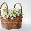 Snowdrops in wicker basket — Stock Photo