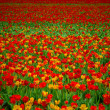 Royalty-Free Stock Photo: Tulips field