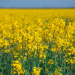 Rape field — Stock Photo #1248054