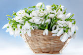 Snowdrops in basket — Stock Photo