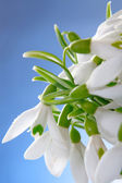 Snowdrops macro — Stock Photo