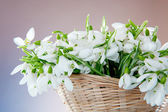 Snowdrops closeup — Stock Photo