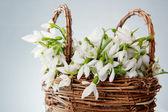 Snowdrops in wicker basket — Stock Photo