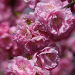 Japanese  cherry in blossom - Stock Photo