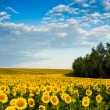 Plantation of gold sunflowers — Stock Photo